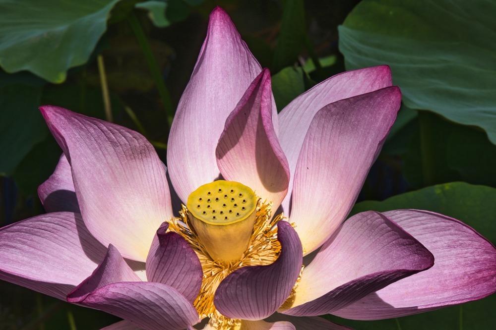 鶴丸城の蓮の花