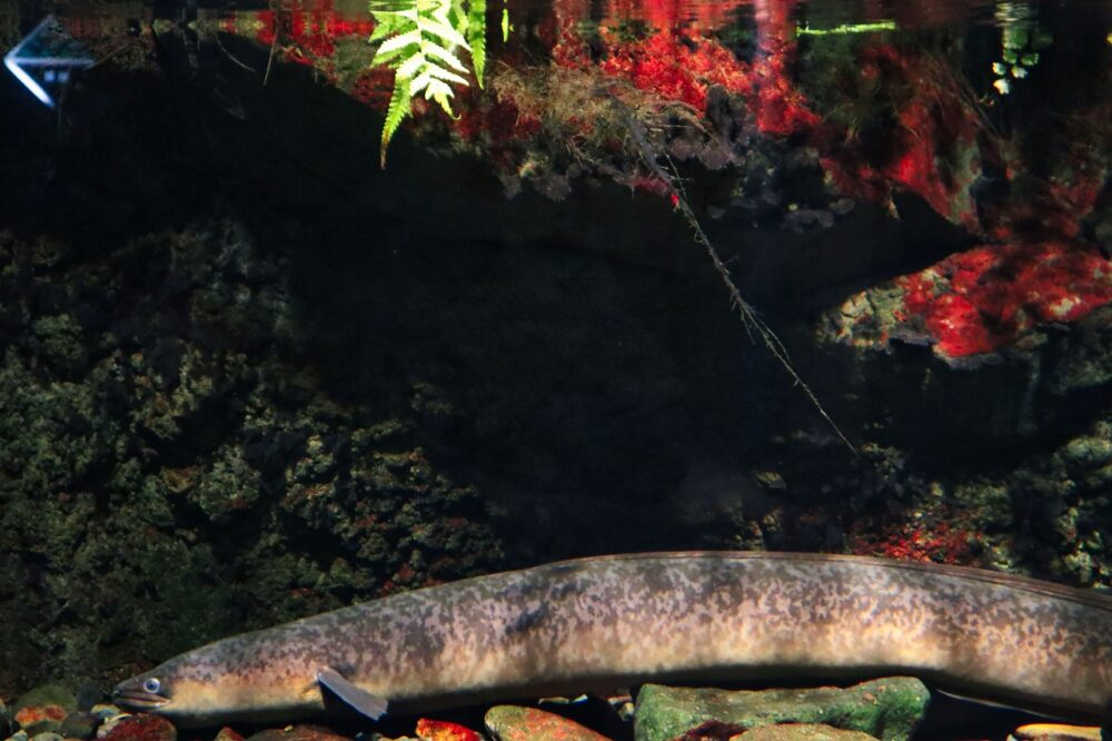 鹿児島水族館の大ウナギ