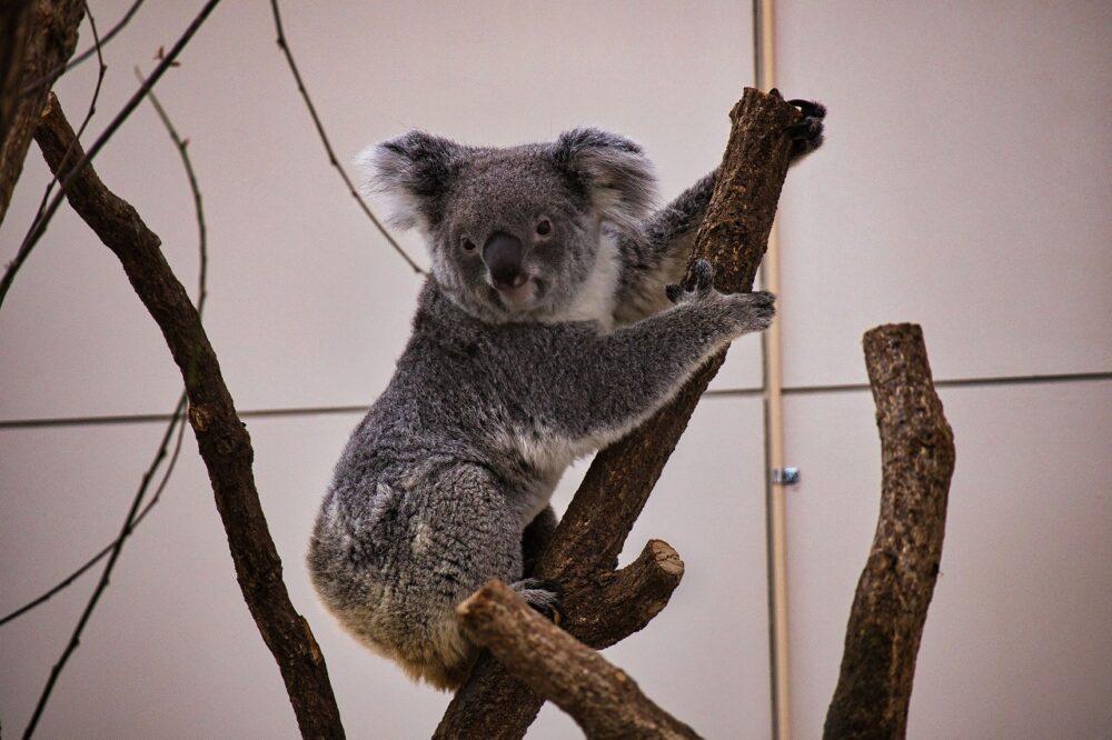 平川動物公園のコアラ