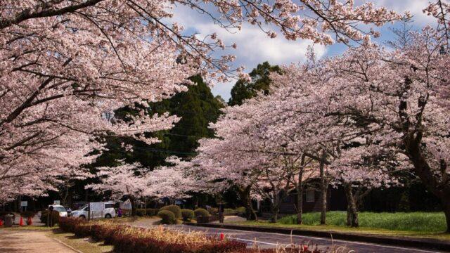 桜(忠元公園)