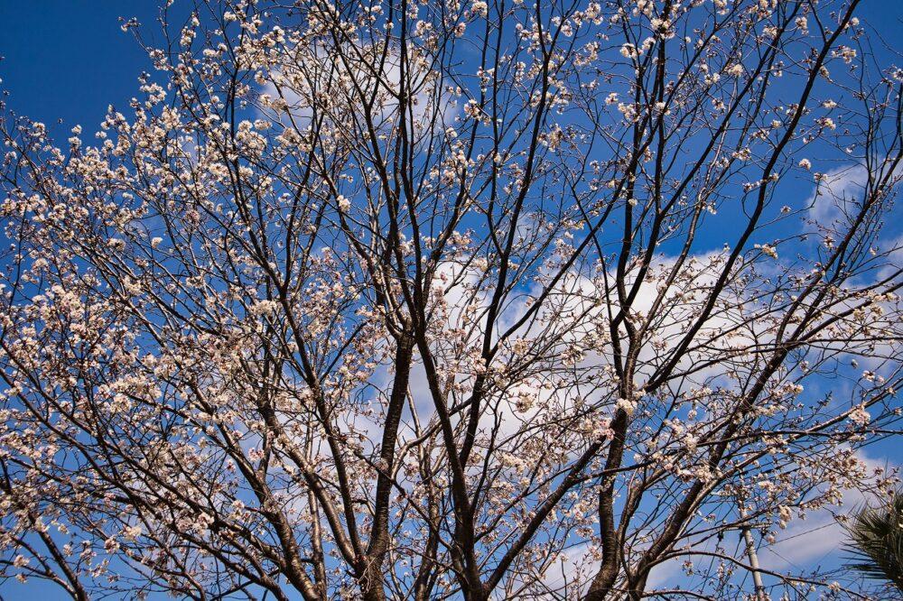 隼人塚(桜)