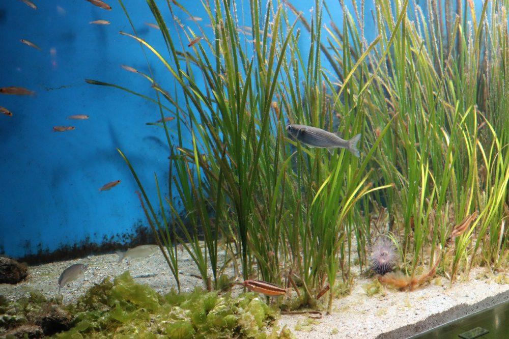 海底に根をはるアマモ(植物)と小魚
