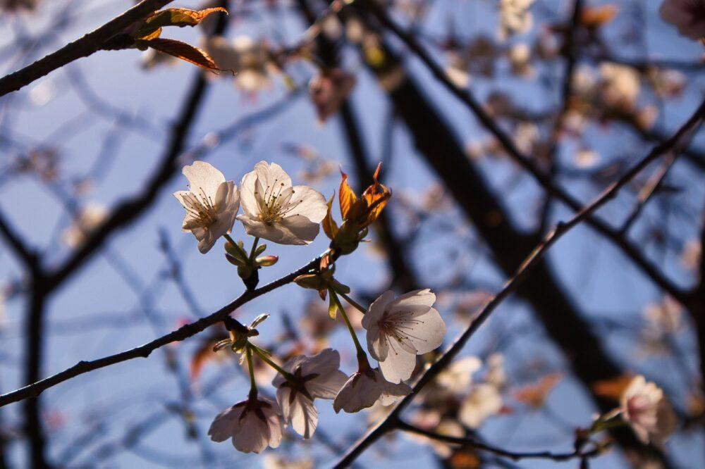 3月(鹿児島市の多賀山公園の桜)