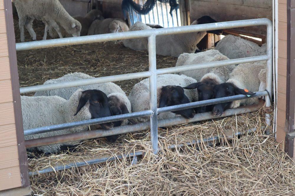 顔を覗かせる羊