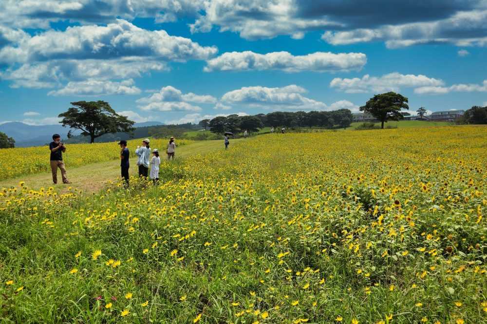 夏のひまわり畑