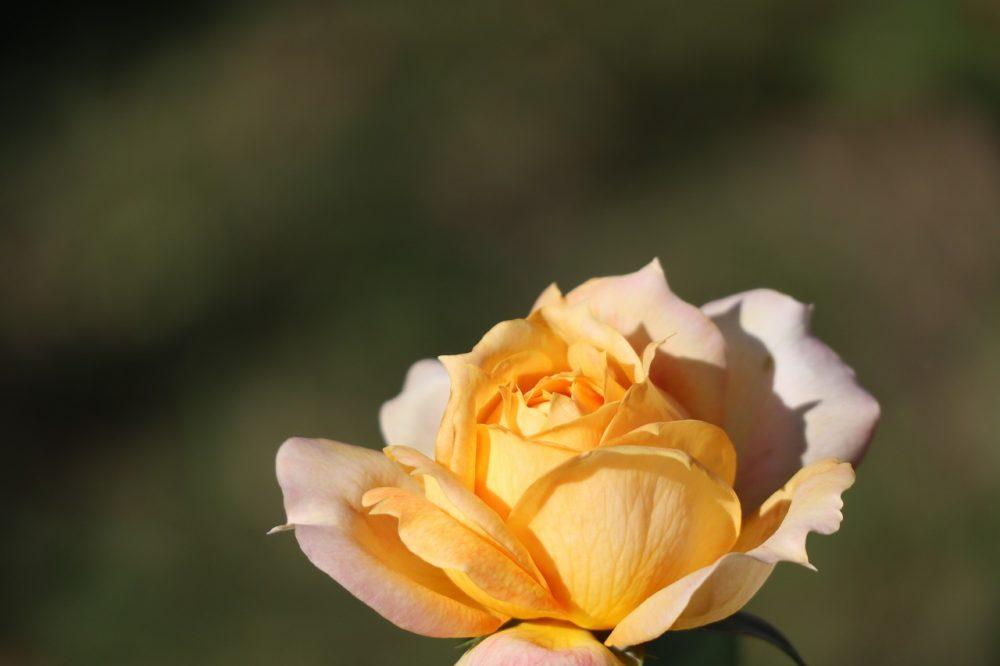 吉野公園のバラ
