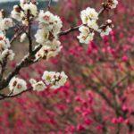 2月(吉野公園の梅の花)